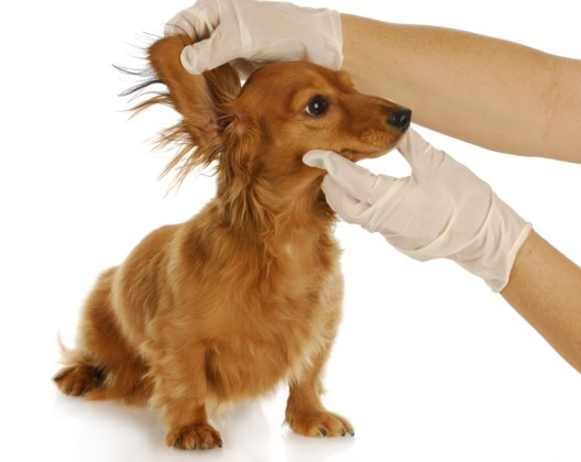 dachshund getting ears examined by a veterinarian with reflection on white background