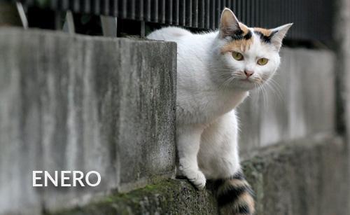 Silvestre / Gato de santa fe sur