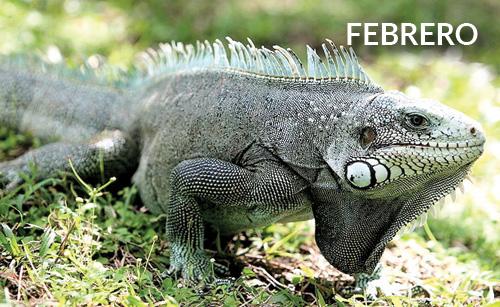 Iguana de Altamira